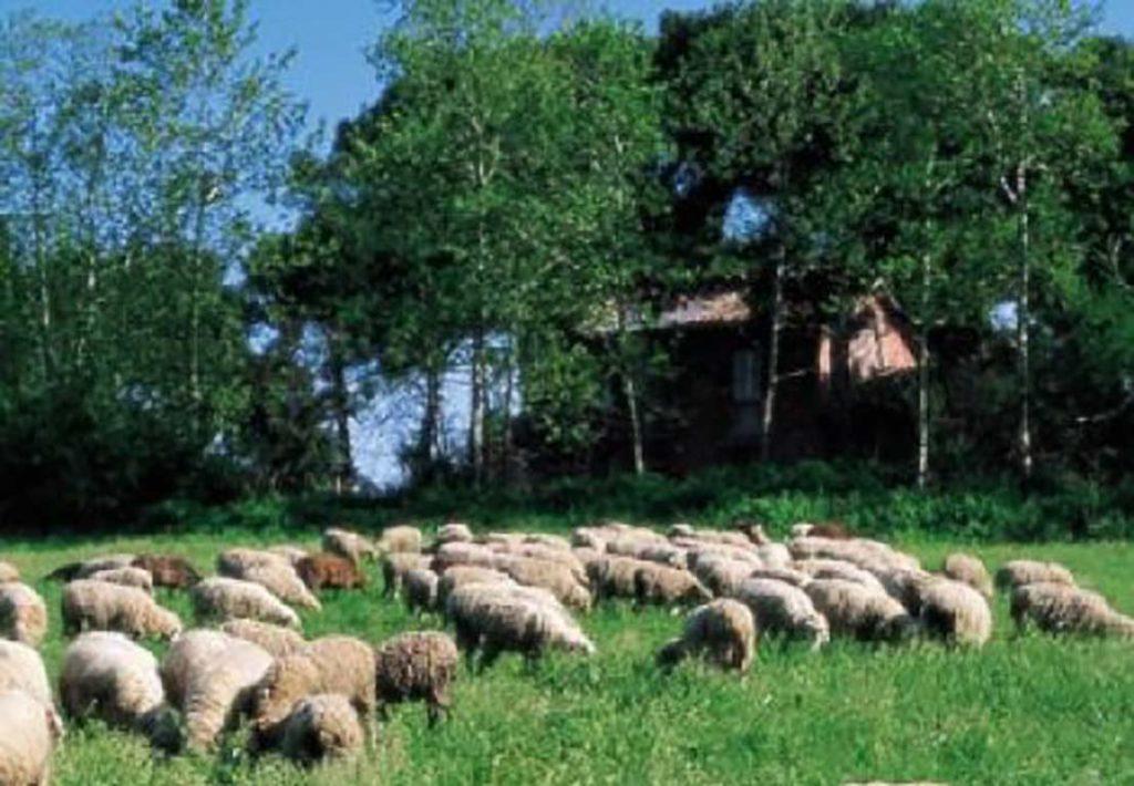 foto di pecore che pascolano