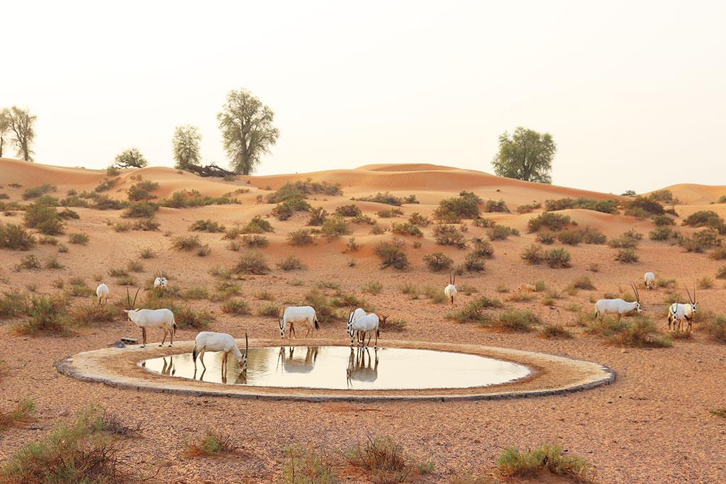 Orici in una oasi del deserto
